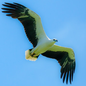 White Belly Sea Eagle