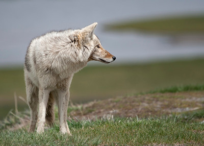 White Coyote at Yellowstone