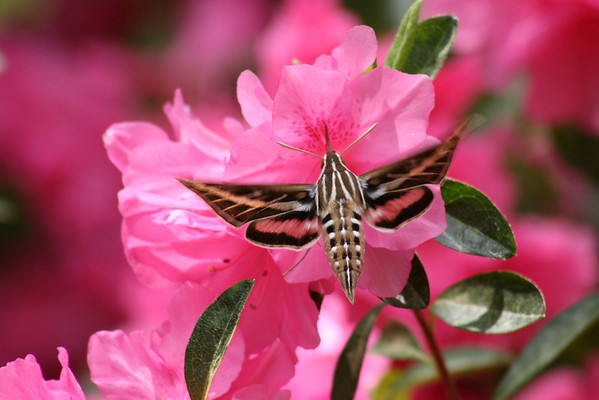 White-Lined Sphnix (Humming Bird Moth) on Azaleas