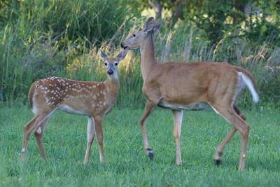 White Tail Deer - Summer 2007
