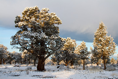Snow and Juniper Trees, Oregon High Desert.