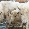 Three Bison Calves