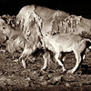 Miracle Moon and her calf Silver Shield Spirit.<br /> June, 2011.