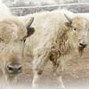 Curious Calves 2