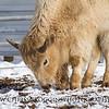 Baby Bison Calf