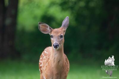 White-tailed Deer 8-22-21