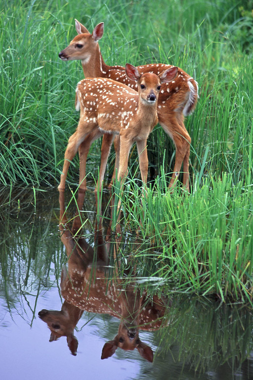 Reflecting Twin Fawns