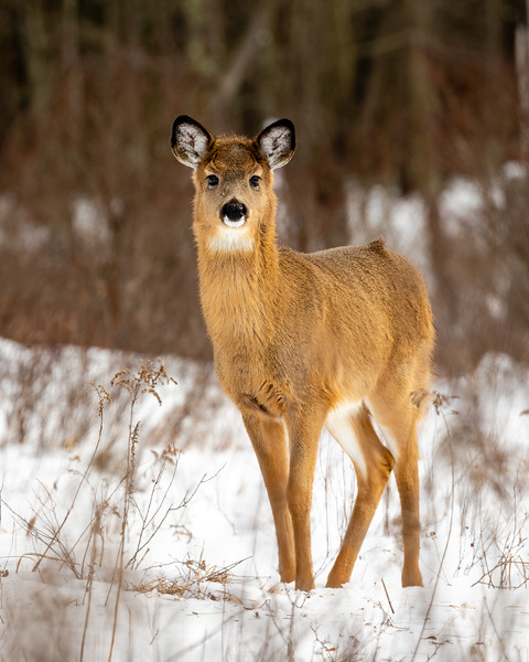 Young Doe in Winter