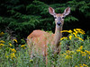 Doe in the Goldenrod