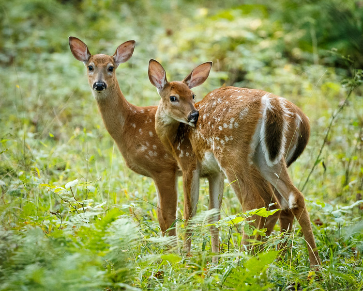 Licking Fawn
