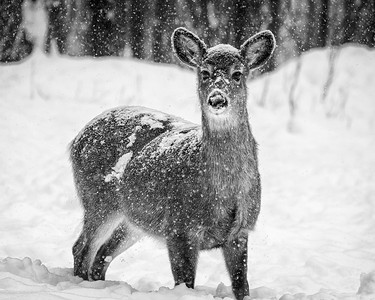 Doe in the Snow
