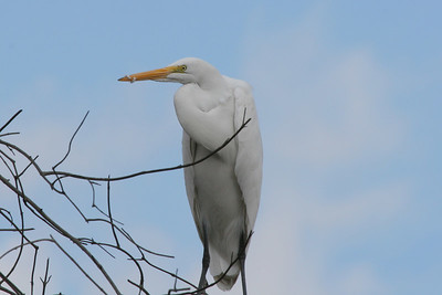 Great Egret, Whitter Narrows