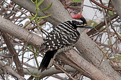 Downey Woodpecker Whitter Narrows