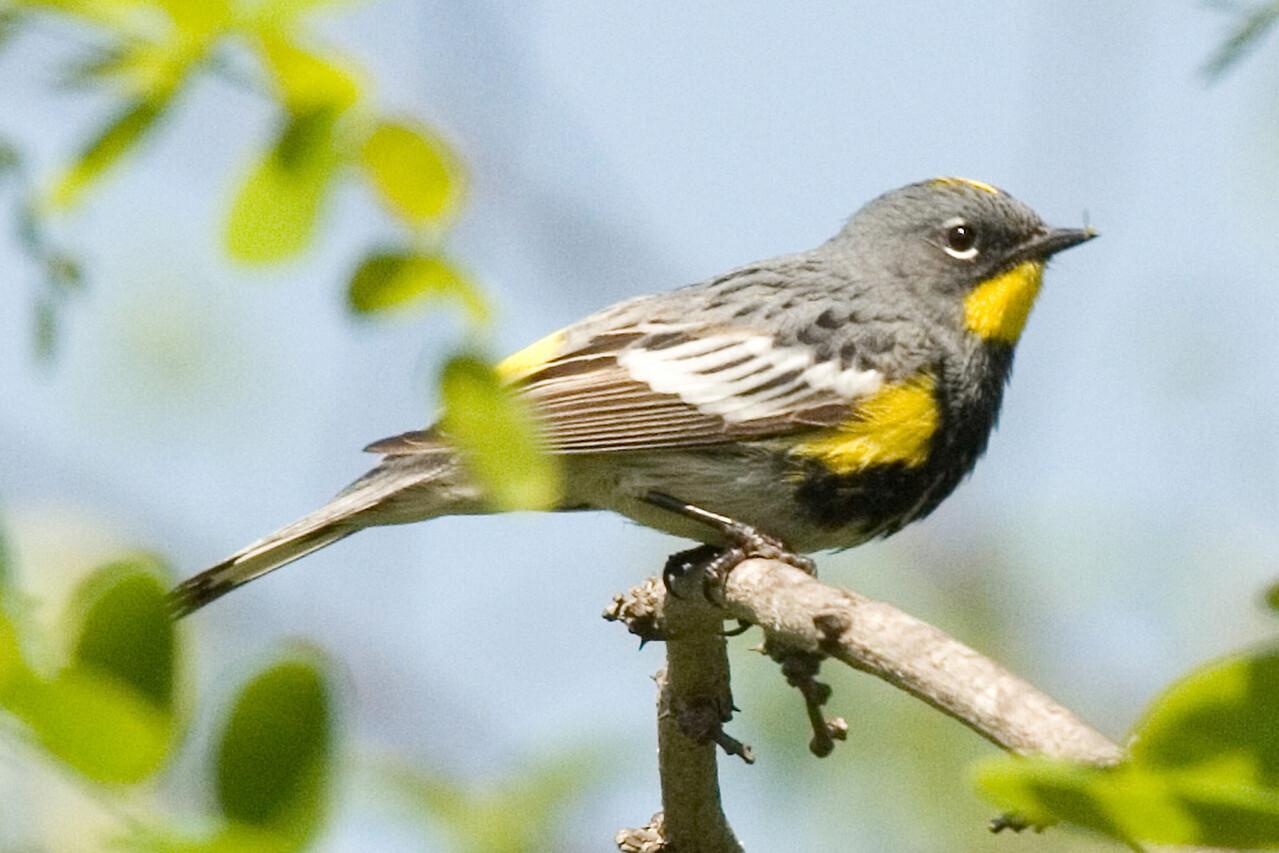 Yellow-rumped Warbler  Whitter Narrows