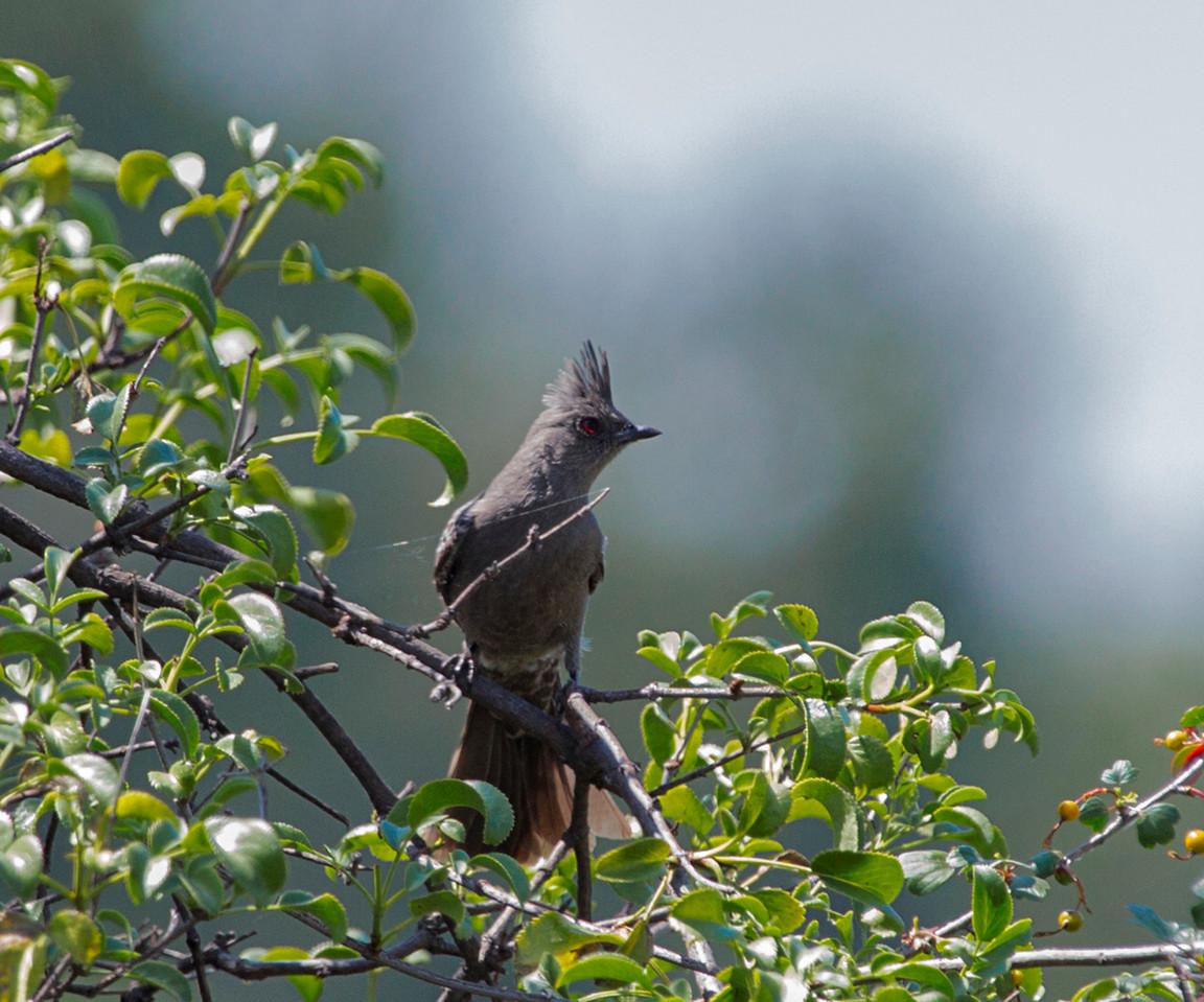 Phainopepla - Female  Silky-Flycatcher