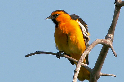 Bullock's Oriole whitter Narrows