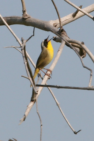 Yellowthroat Warbler, Whitter Narrows