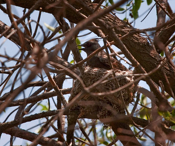 Phainopepla - female  Silky-flycatcher in nest