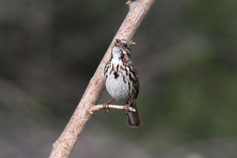 Song Sparrow, Whitter Narrows