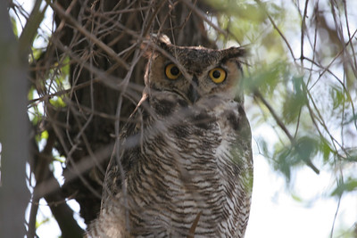 Great Horned Owl This is the Dad that flew over my head when my camera jammed and the talons are very big.
