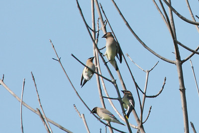 Cedar Waxwing, Whitter Narrows  These Cedar Waxwings were at Whitter Narrow for just one week.