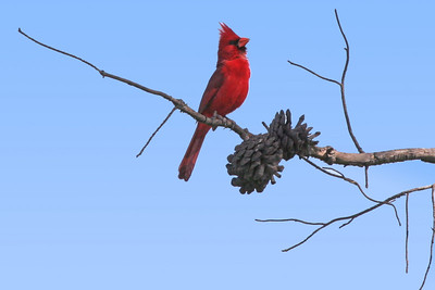 Northern Cardinal, Whitter Narrows. Very unsual to find in Southern California