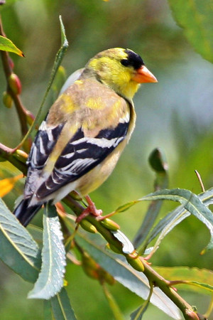 American Goldfinch, Whitter Narrows