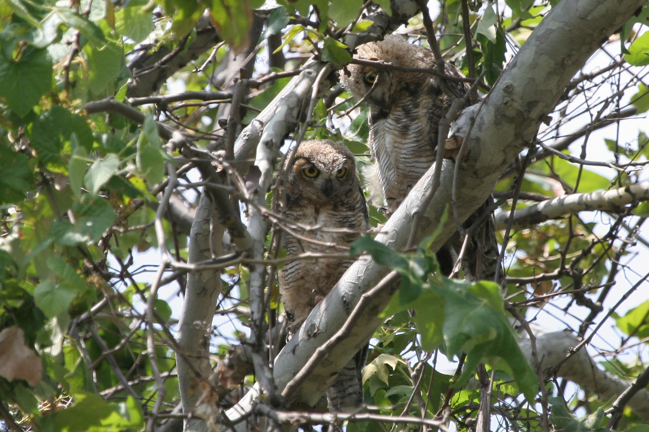 Great Horned Baby Owls, the mother was found dead on the trail here in Whitter Narrows.