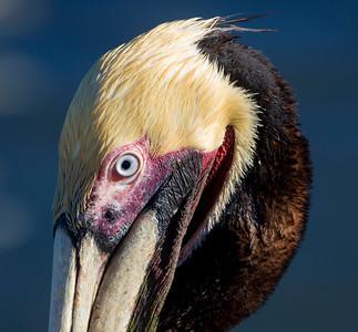 Brown Pelican's blue eye