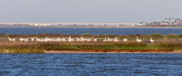 A large flock of White Pelicans