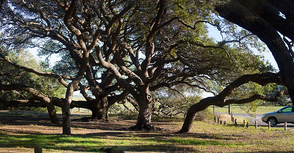 A tangle of old oak trees