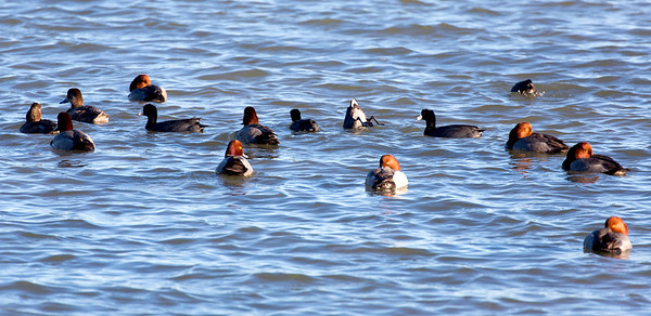 A flock of Redhead ducks mixed in among American Coots.