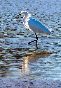 Snowy Egret facing the setting sun