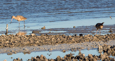 Two Marbled Godwits foraging
