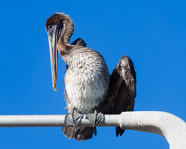Brown Pelican on a lamp post