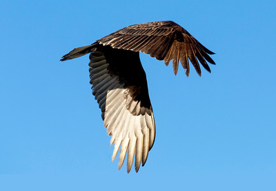 Turkey Vulture, wings down.