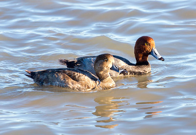 Female and male Redhead Ducks