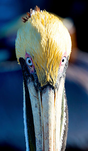 Brown Pelican stare-down