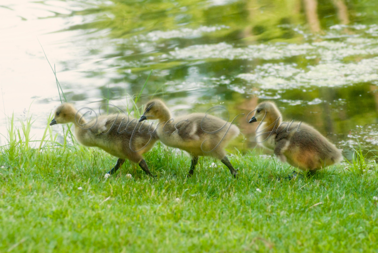 Three young goslings catching up to their parents. Buckingham Pond, Albany, NY.