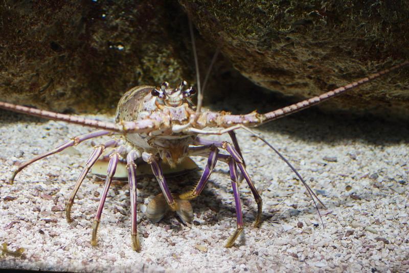 Lobster_0055