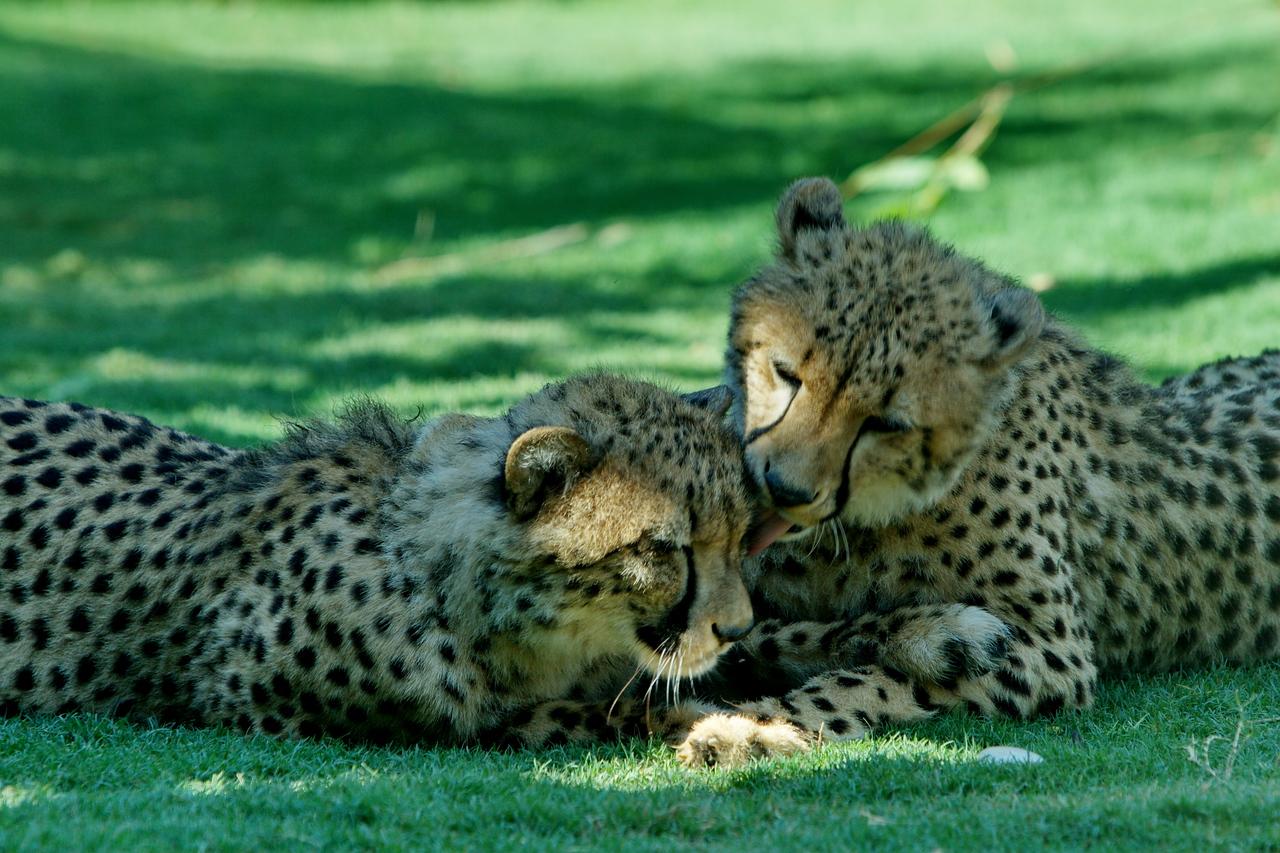 Cheetah_5846