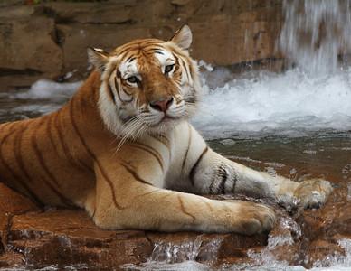 Tiger_Orange_Print_2512