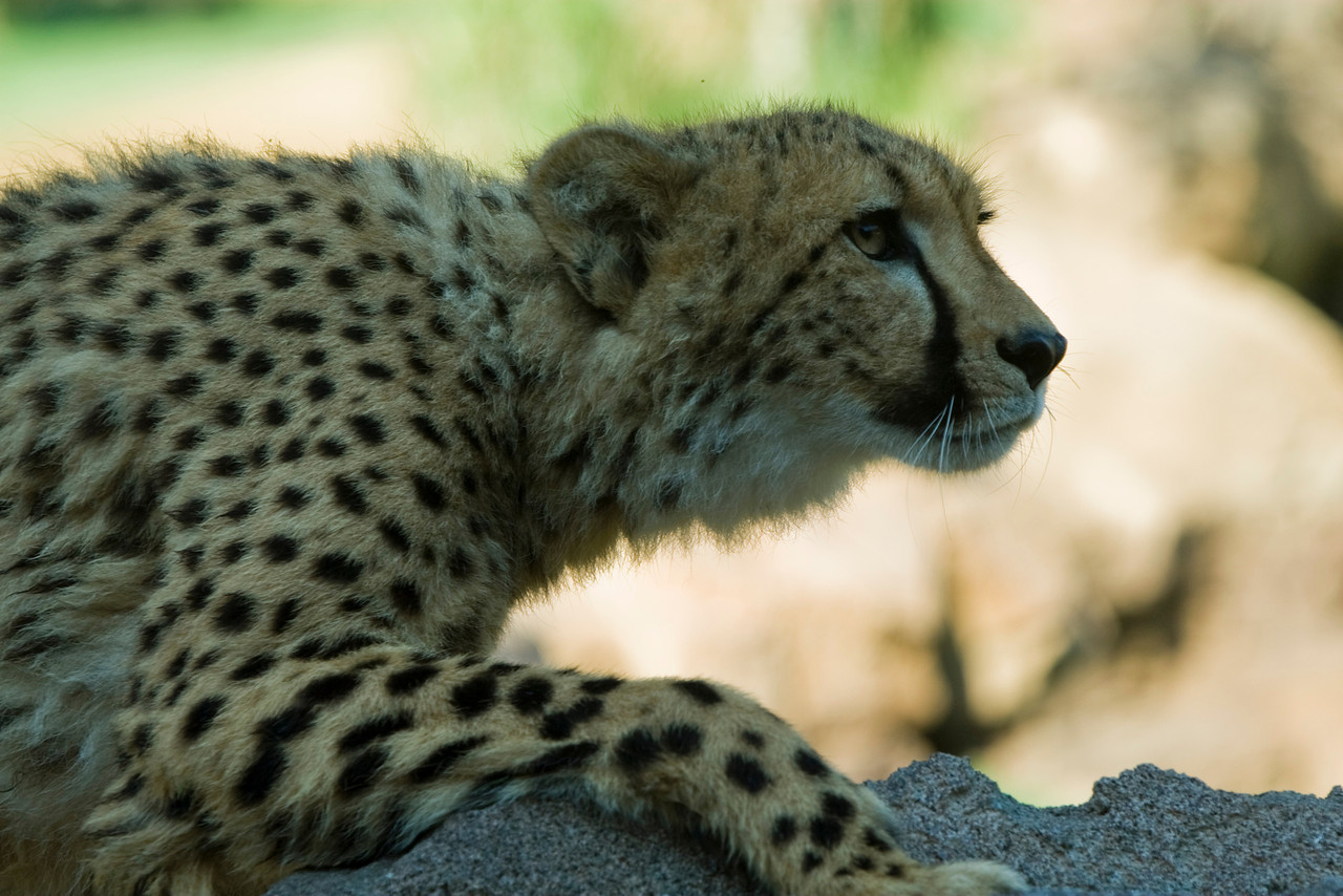 Cheetah_5750Edit