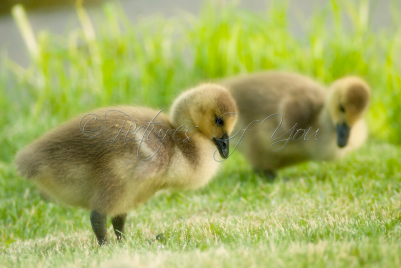 Young goslings at Buckingham  Pond, Albany, NY.