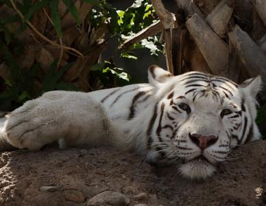 Tiger_BW_Print_2451