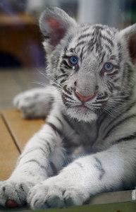 Baby_Lion_Head_4243