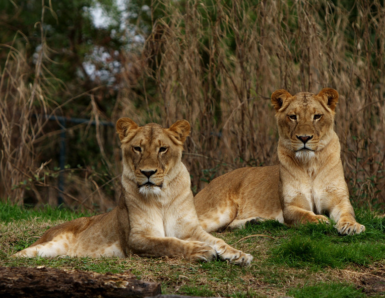 Lioness_1088