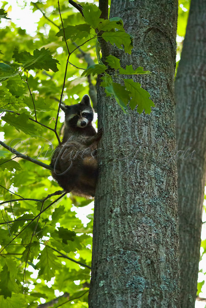 A raccoon climbs a tree at dusk on the grounds at Five Rivers Environmental Center in Delmar, NY.
