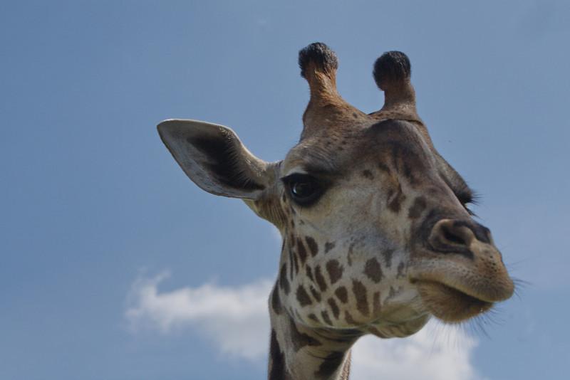 Giraffe_8410