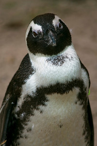 Penguin_Face_Tilt_Left_0021